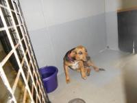 Hound - 12-0558 Precious - Medium - Young - Female -