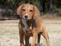 Hound - Abby - Medium - Young - Female - Dog