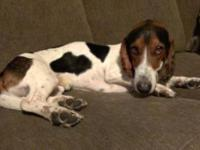 Hound - Adam - Medium - Young - Male - Dog Adam is a
