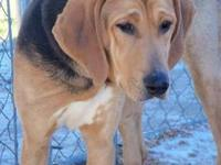 Hound - Amber Rose - Large - Young - Female - Dog All
