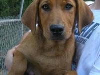 Hound - Annabelle - Large - Young - Female - Dog This