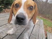 Hound - Blue - Medium - Young - Male - Dog Blue is an