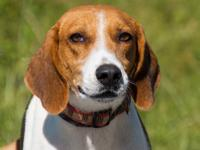 Hound - Braxton - Large - Adult - Male - Dog 2-3 yrs