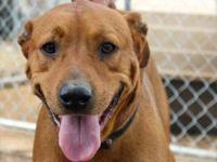 Hound - Chico - Large - Adult - Male - Dog Chico has