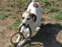 Hound - Clemintine - Medium - Young - Female - Dog