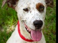 Hound - Cody 11829 - Medium - Young - Male - Dog