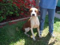 Hound - Cooper - Medium - Adult - Male - Dog
