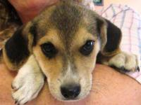 Hound - Dakota - Large - Baby - Female - Dog You can