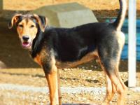Hound - Destin - Large - Young - Male - Dog This