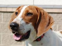 Hound - John Boy - Medium - Young - Male - Dog John Boy