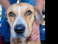Hound - Kallie - Large - Adult - Female - Dog Hi, My
