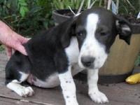 Hound - Layla/jackie - Medium - Baby - Female - Dog