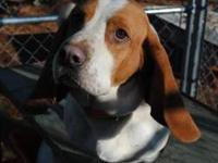 Hound - Leonardo - Medium - Adult - Male - Dog To find
