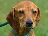 Hound - Little Ann - Medium - Adult - Female - Dog