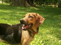 Hound - Mabel - Medium - Adult - Female - Dog Mabel 2