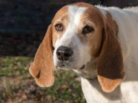 Hound - Martha - Large - Adult - Female - Dog Martha is
