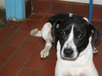 Hound - Merphy - Large - Young - Male - Dog Merphy is a