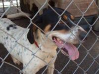 Hound - Patches - Medium - Young - Female - Dog If