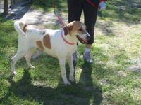 Hound - Pluto 11603 - Large - Adult - Male - Dog