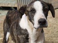 Hound - Priscilla - Large - Young - Female - Dog Hi