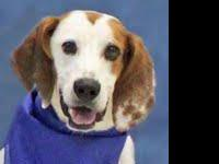 Hound - Razzie - Large - Adult - Male - Dog