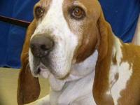 Hound - Red-urgent!!!!!! - Large - Adult - Male - Dog