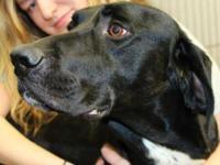 Hound - Remington - Large - Adult - Male - Dog