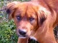 Hound - Rusty - Medium - Adult - Female - Dog Rustie