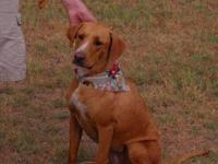 Hound - Suzie - Large - Young - Female - Dog This is a