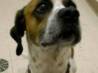 Hound - Toby - Medium - Adult - Male - Dog TOBY: 3 yrs.