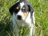 Hound - Trippe - Small - Young - Female - Dog Trippe