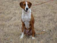 Hound - Xander - Large - Adult - Male - Dog Xander is a
