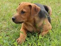 Hound - Austin - Medium - Baby - Male - Dog Austin was