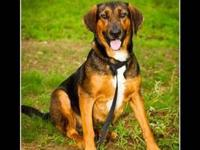 Hound - Darby - Medium - Young - Female - Dog black