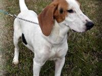Hound - Roscoe - Medium - Young - Male - Dog Roscoe