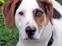 Hound - Willie--puppy - Large - Young - Male - Dog