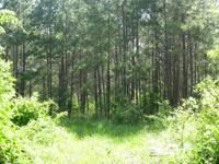 Very nice stand of young pine trees with scattered open