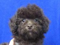 BrownTeddy bear face Tiny Poodle, AKC Rare color Toy