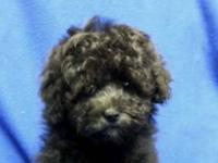 Teddy bear toy poodle Toy Female D.O.B.: 9/12/2013