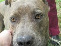 Houser's story HOUSER SHELTER BREED: PIT MIX MALE, 2
