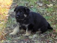 Check us out. We have some AKC German Shepherd Puppies