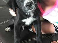 Howie's story Howie is a 2.5-3MO Collie/Spaniel mix,