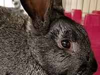 Howie is a 1 year old chinchilla mix rabbit and was