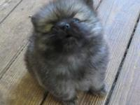 This stunning Pomeranian male will be ready to find his