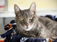 Hubert's story 7 yr neutered male silver manx mix