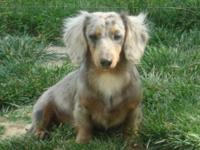 Huckleberry is a 9mo old longhair blue/tan dapple