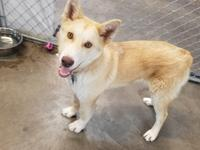 Hudson is a gorgeous 8 month old blonde husky mix