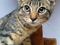 Huey's story Huey is a male grey tabby kitten, born on