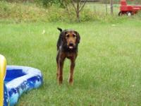 1 1/2 year old male neutered Airedale Terrier Hound