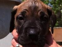 Lovely litter of AKC CH bred Great Danes. All Fawn. For